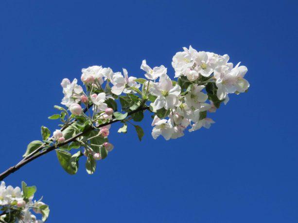 Omenapuu4